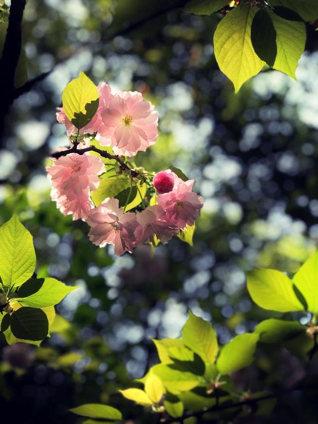 Cherry trees in California